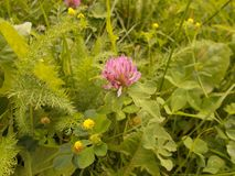 Clover, black medic and yarrow royalty free stock photo