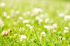 clover blommagläntanaturen skyddar arkivfoton
