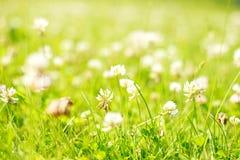clover blommagläntanaturen skyddar patricks för bakgrundsväxt av släkten Trifoliumdag mönsan den seamless st-tegelplattan arkivfoto