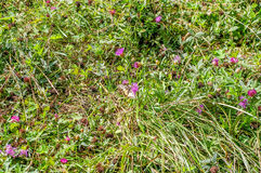 Clover. Blooming, buds, red flowers, leaf Royalty Free Stock Photography