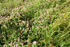 Clover blooms. Field of flowering clover in the country stock images