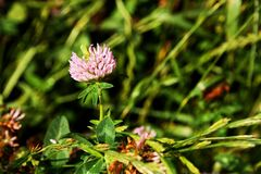 Clover blooms. Flowers of pink clover in the field royalty free stock images