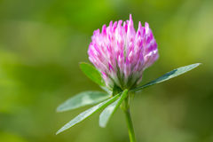 Clover blossom flowers Stock Photo