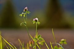 Clover, blossom, shamrock, trefoil, backlit by sun stock photos