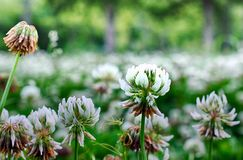 Clover blossoms Stock Images