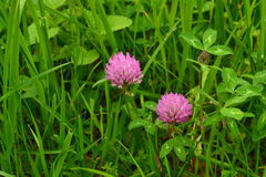 Clover blossoms Royalty Free Stock Image