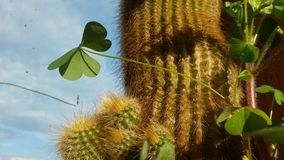 Clover and cactus. Clover and golden cactus Royalty Free Stock Photo