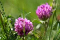 Clover. Close up Royalty Free Stock Photo