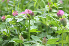 Clover. Closer look on the meadow - pink clovers covered by drops of dew Royalty Free Stock Photo