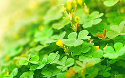 Clover (clover and little flower) Royalty Free Stock Photo
