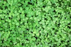 Clover Cloverfield Grass Trifolium Faboideae Fabaceae Stock Photo. Background royalty free stock images