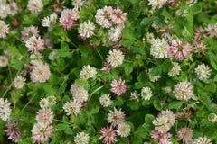 Clover creeping (white), (Trifolium repens L. ), background Stock Photos