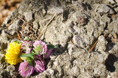 Clover and dandelion in stone. Bouquet Royalty Free Stock Images