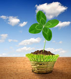 Clover. In decorative pot on blue sky Royalty Free Stock Photo