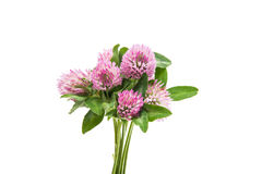 Free Clover Delicate Flower Isolated Royalty Free Stock Photos - 95165748