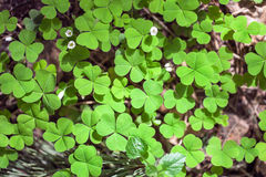 Clover in the dense forest. Clover in the green sunny forest reserve in elk island royalty free stock images