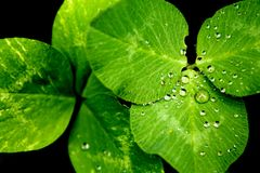 Clover with dew Stock Photos
