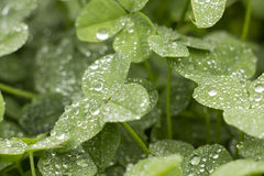 Clover with dew Stock Images