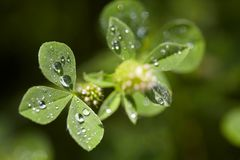 Clover with dew drops Stock Photo