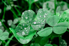 Clover with dew drops, grass in the morning in the forest Royalty Free Stock Image