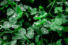 Clover with dew drops, grass in the morning Stock Photos