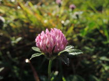 Clover with dew Stock Photo
