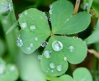 Clover with dew2 Stock Image