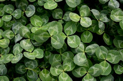 Clover with dewdrop Royalty Free Stock Image
