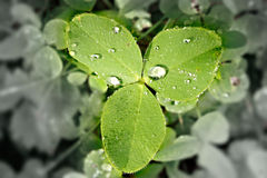 Clover with discolored and blurred background. As environmental concept Stock Image