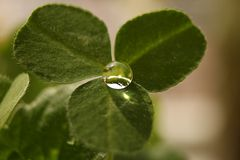 Clover with drop Stock Image