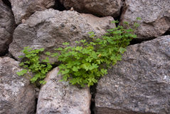 Clover on dry stone wall Stock Image