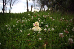 Clover Duckling Royalty Free Stock Photo