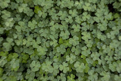 Clover Feild. Large Clover field. Zoom effect done during capture Royalty Free Stock Photos