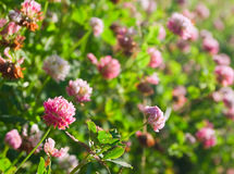 Clover on field. In sunset time Stock Image