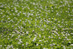 Clover Field. Field of clovers in the summer time Stock Photos