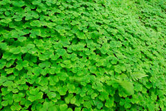 Clover field. A clover of field, Oxalis sp., Oxalidaceae Royalty Free Stock Images