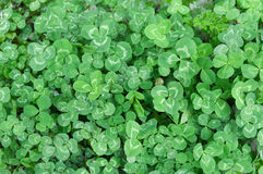 Clover field Stock Photos