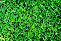 Clover Field Background Stock Images