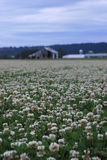 Clover field and barns Royalty Free Stock Images
