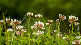 Clover field Royalty Free Stock Photos