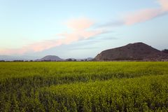 Clover Field at Dusk Royalty Free Stock Images