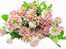 Clover field flowers Royalty Free Stock Images