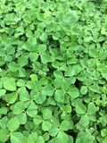 Clover Field Stock Photo