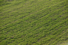Clover field Stock Photography