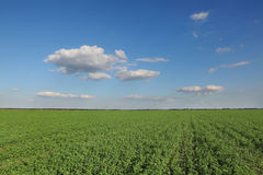 Clover field in late summer Royalty Free Stock Photos