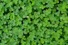 Clover Field Background. Clover field with some in-focus clovers stock photos