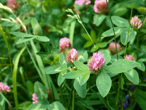 Clover flower. In a meadow among the motley grass royalty free stock photography