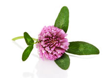 Clover flower Stock Image