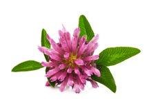 Clover flower Stock Images