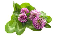 Clover flower Stock Photography